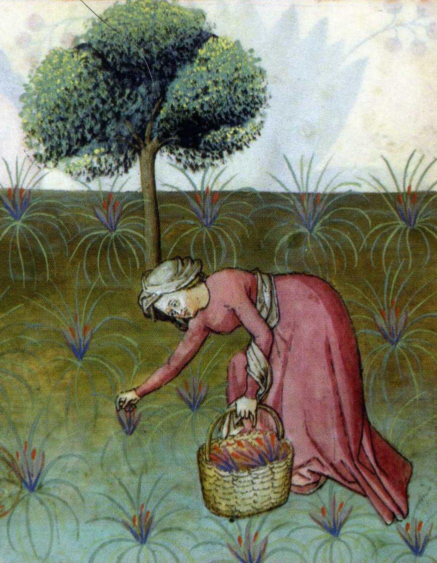 Dame plukt saffraan. Uit: Tacuinum Sanitatis, veertiende eeuw