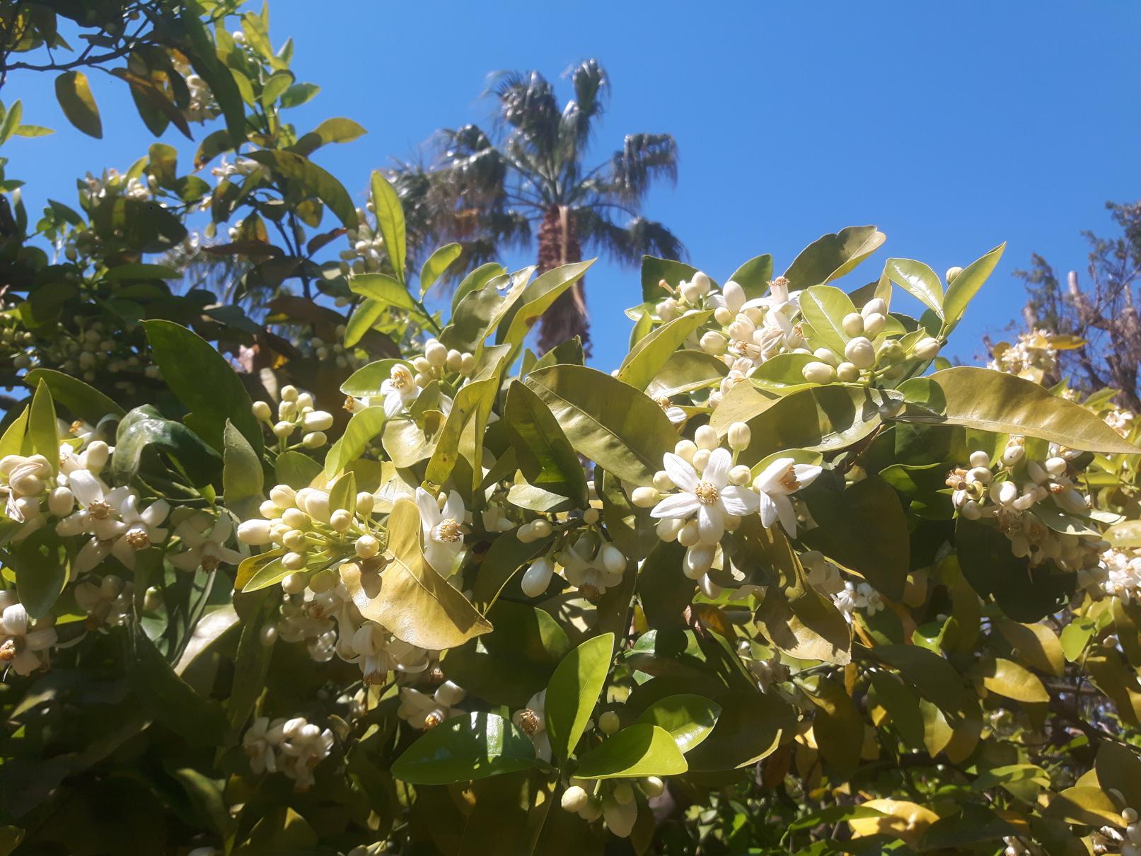 Overal de onweerstaanbare geur van oranjebloesem van de sinaasappelboom
