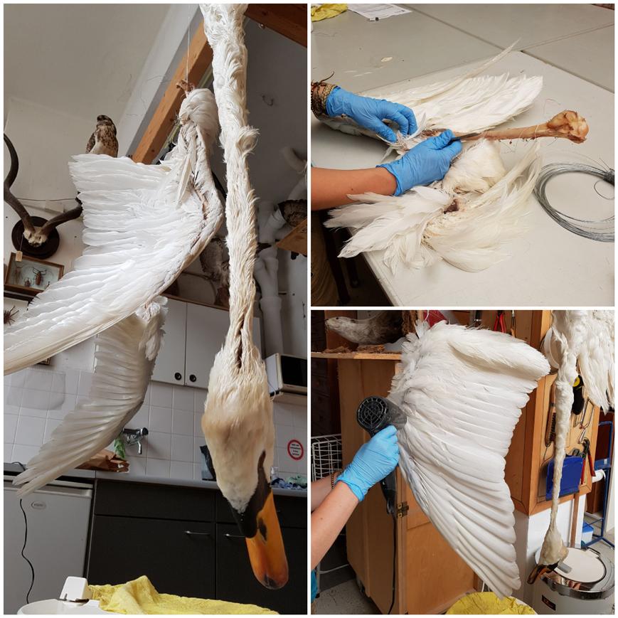 Prepareren van de zwaan voor de zwaanpastei door De Bastei