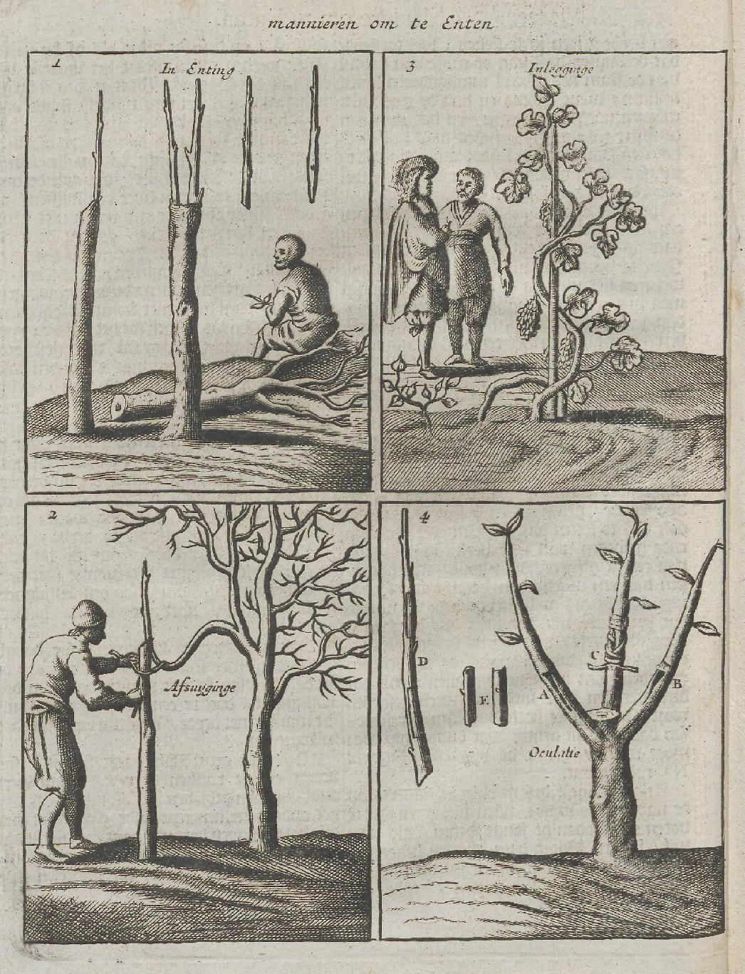Wijnverbouw uit De verstandige hovenier (1669) Universiteitsbibliotheek Utrecht
