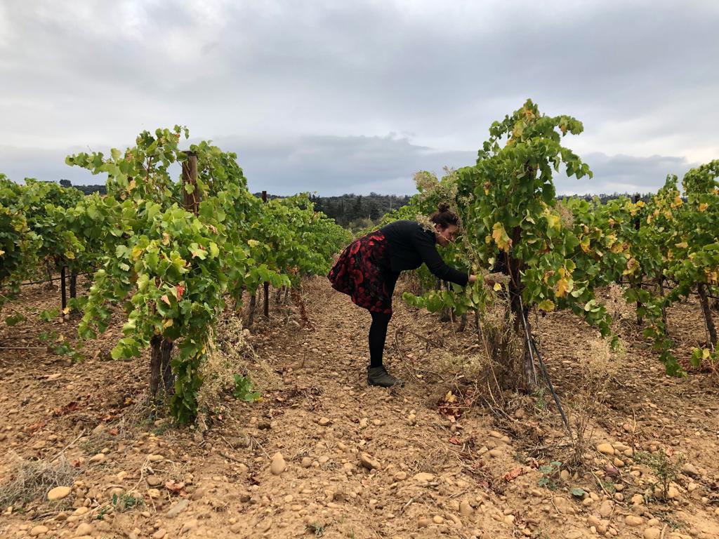 Druivenplanten voor de Romeinse wijn