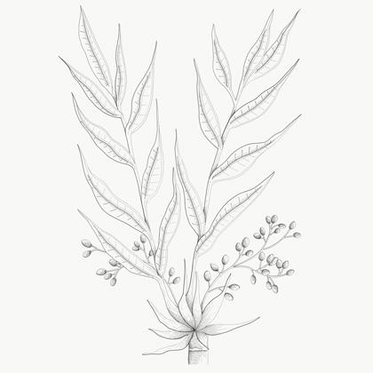 Paradijskorrels. Botanische tekening van eet!verleden door Studio EEV