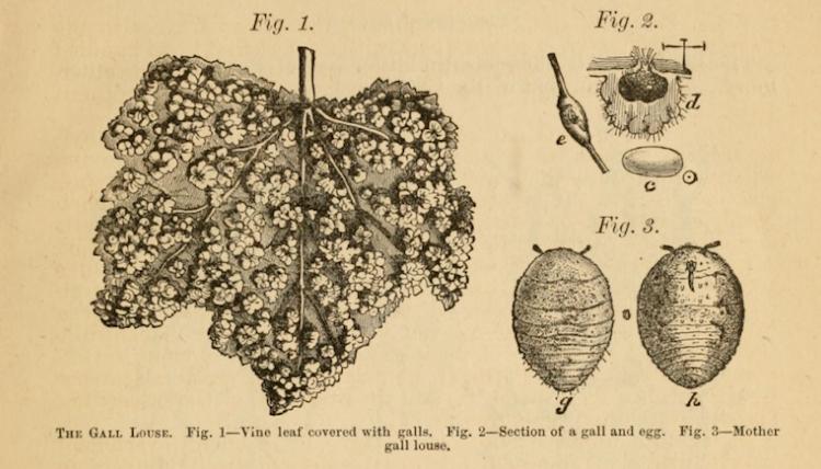 Phylloxera blad en luis